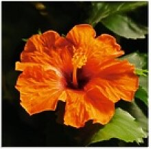 Artland Glasbild Orangener Hibiskus, Blumen (1