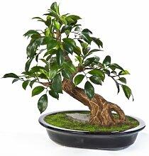 artplants Künstlicher Bonsai Ficus Folia TAKI in