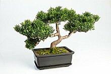 artplants Set 2 x Künstlicher Bonsai Ceder mit