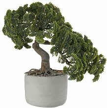 "ASA Selection ""bonsai"" Muschelzypresse"