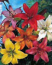 Asiatische gemischt Lilien Lilium asiatic