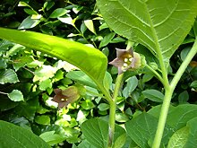 Asklepios-seeds® - 100 Samen Tollkirsche Atropa belladonna Hexenkrau