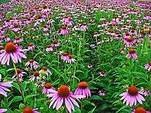 Asklepios-seeds® - 250 Samen Echinacea purpurea,