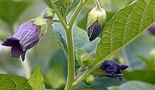 Asklepios-seeds® - 500 Samen Tollkirsche Atropa belladonna Hexenkrau