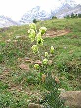 Asklepios-seeds - 200 Samen Aconitum anthora,