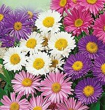 Aster Seeds Alpine Mix (Callistephus chinensis) Schöne Staude Blumen