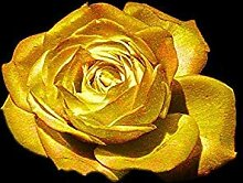 ASTONISH Erstaunen SEEDS: 200 PC-Rose-Samen,