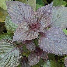 ASTONISH Erstaunen SEEDS: Perilla Seed Essbare