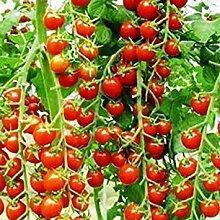 ASTONISH Erstaunen SEEDS: Tomate A13: 2016