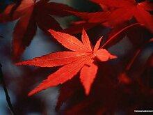 ASTONISH Erstaunen SEEDS: Topfpflanzensamen 20 PCS