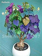 Außenzierblumen Cotton Seed, Weißes Gossypium