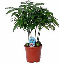 Australische Kastanie (Castanospermum), exotische