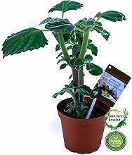 Australisches Zitronenblatt Green Velvet Kräuter Pflanze, Ideal für Smoothie, frische Qualität aus der Gärtnerei !