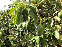 Avocado Persea americana gratissima Pflanze 20cm Butterfrucht Hass Raritä