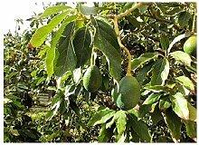 Avocado Persea americana gratissima Pflanze 20cm