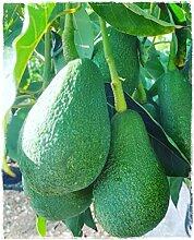 Avocado-Pflanze 'Fuerte' Persea Americana