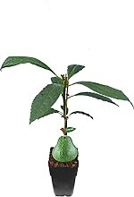 Avocado Pflanze - Persea americana - 50-70 cm -