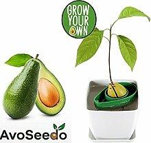 AvoSeedo das besondere Garten Geschenk - Pflanzen Sie Ihren eigenen Avocadobaum. Kleine Geschenke für Frauen und Männer Die neue klein Dekoration (Grün/Weiß)