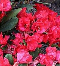 Azalee Burletta 25-30cm - Rhododendron neriiflorum