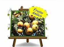 Azzeruolo Gelb auf Topf 26 Pflanze für Obst antik