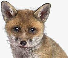Baby Fox Porträt 30x30 cm - Foto auf Glas / Acrylglas / Plexiglas bild