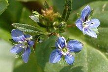 Bachbunge (Veronica beccabunga) Teichpflanze Teichpflanzen Teich