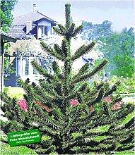 BALDUR-Garten Affenschwanz-Baum, Chilenische