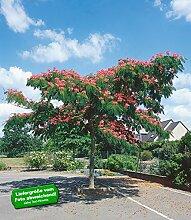 BALDUR-Garten Albizia Ombrella,1 Pflanze