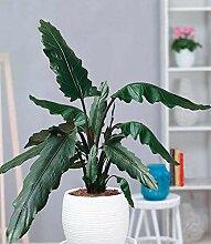 BALDUR-Garten Alocasia Lauterbachiana, 1 Pflanze