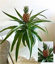 BALDUR-Garten Ananas Corona, 1 Pflanze