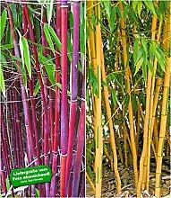 BALDUR-Garten Bambus-Raritäten Kollektion,2