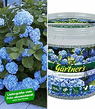BALDUR-Garten Bauern-Hortensie 'Générale