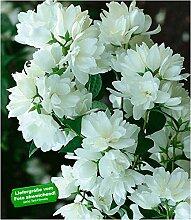 BALDUR-Garten Bauern-Jasmin, 1 Pflanze,