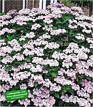 BALDUR-Garten Bauernhortensie Mariesi 1 Pflanze