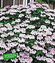 BALDUR-Garten Bauernhortensie Mariesi 1 Pflanze Freilandhortensie winterhar