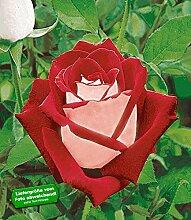 BALDUR-Garten Beet-Rosen 'Osiria®', 1 Pflanze