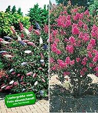 BALDUR-Garten Blüten-Sträucher-Kollektion,2 Pflanzen
