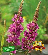 BALDUR-Garten Blutweiderich, 3 Pflanzen Lythrum