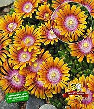 BALDUR-Garten Bodendecker Delosperma 'Fire Spinner®' Eisblumen, 3 Pflanzen