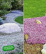 BALDUR-Garten Bodendecker-Kollektion pink und blau,6 Pflanzen