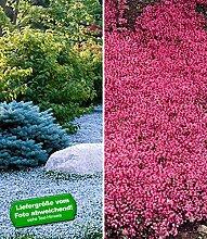 BALDUR-Garten Bodendecker-Kollektion rot und blau,6 Pflanzen