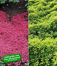 BALDUR-Garten Bodendecker Thymian-Kollektion rot