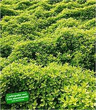 BALDUR-Garten Bodendecker Zitronenthymian; 3
