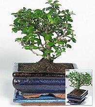 BALDUR-Garten Bonsai Carmona,1 Pflanze