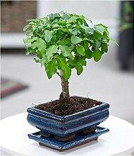 BALDUR-Garten Bonsai Ligustrum,1 Pflanze