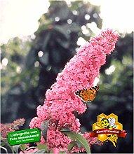 BALDUR-Garten Buddleia Sommerflieder 'Pink