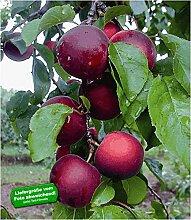 BALDUR-Garten Cherrykose®' Kreuzung aus