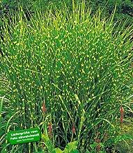 BALDUR-Garten Chinaschilf Zebragras, 3 Pflanzen