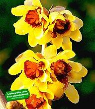 BALDUR-Garten Chinesische Winterblüte, 1 Pflanze