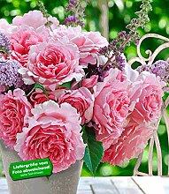 BALDUR Garten Delbard Kletter-Rose Bienvenue® 1
